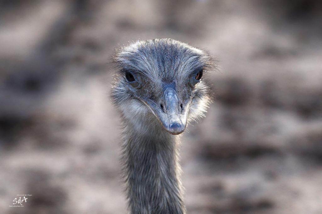 Tierprotraits. Wer zuerst wegschaut hat verloren., Ein Emu im direkten Blick, Sehnsucht der Augen, Sda, Danny Koerber, Tiere, Portraits