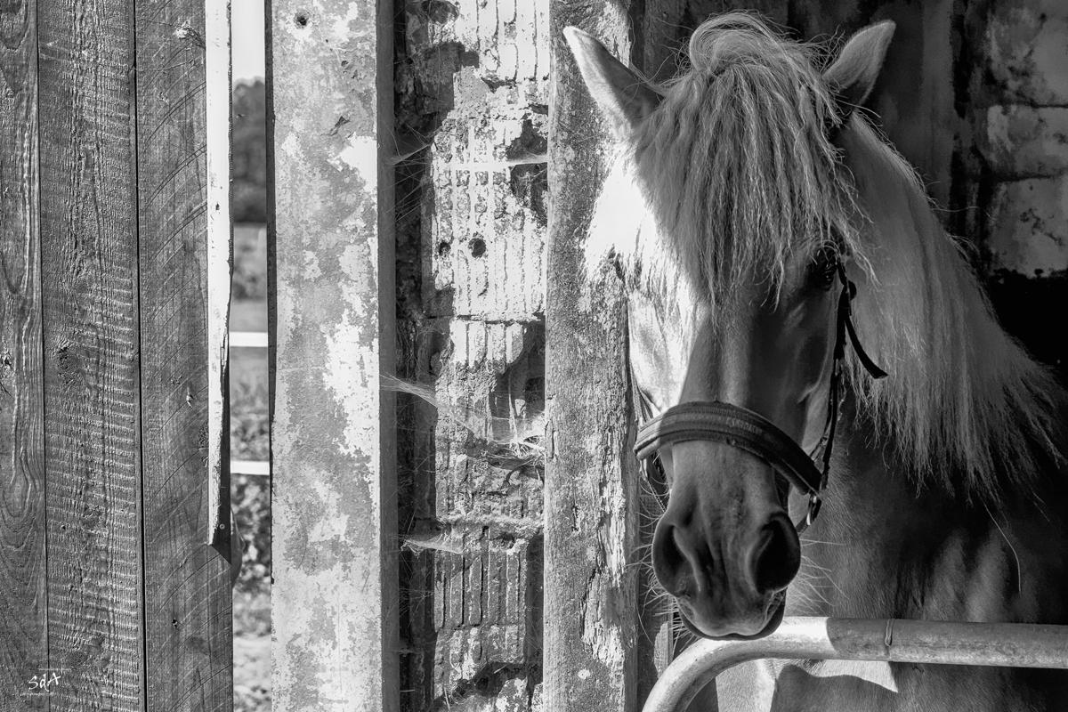 Haflinger im Stall, Danny Koerber, Sehnsucht der Augen, Riere, Schwarz Weiß.Haustiere und Pferde