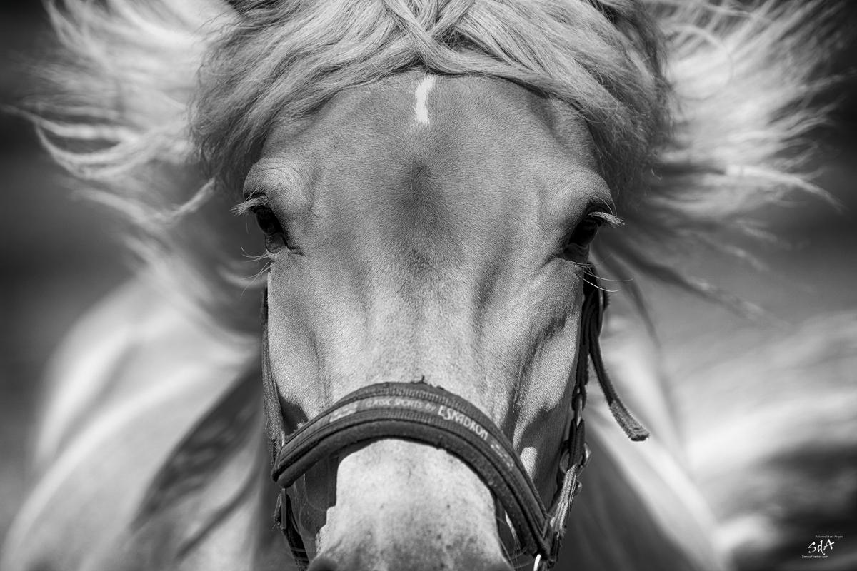 Haflinger im Ansturm, Danny Koerber, Sehnsucht der Augen, Riere, Schwarz Weiß.Haustiere und Pferde