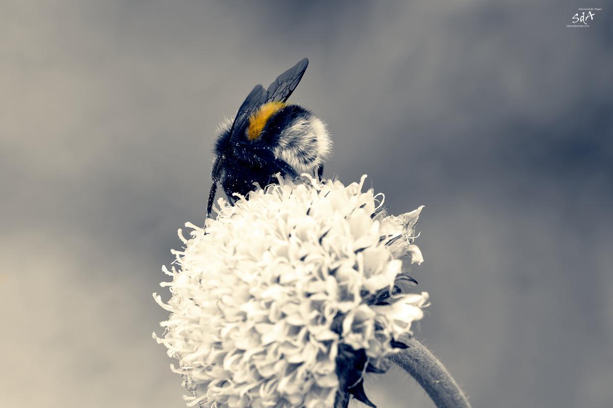 Ein auch Hummel Hintern kann entzücken, fotografiert von Danny Koerber für Sehnsucht der Augen. Tiere und Insekten