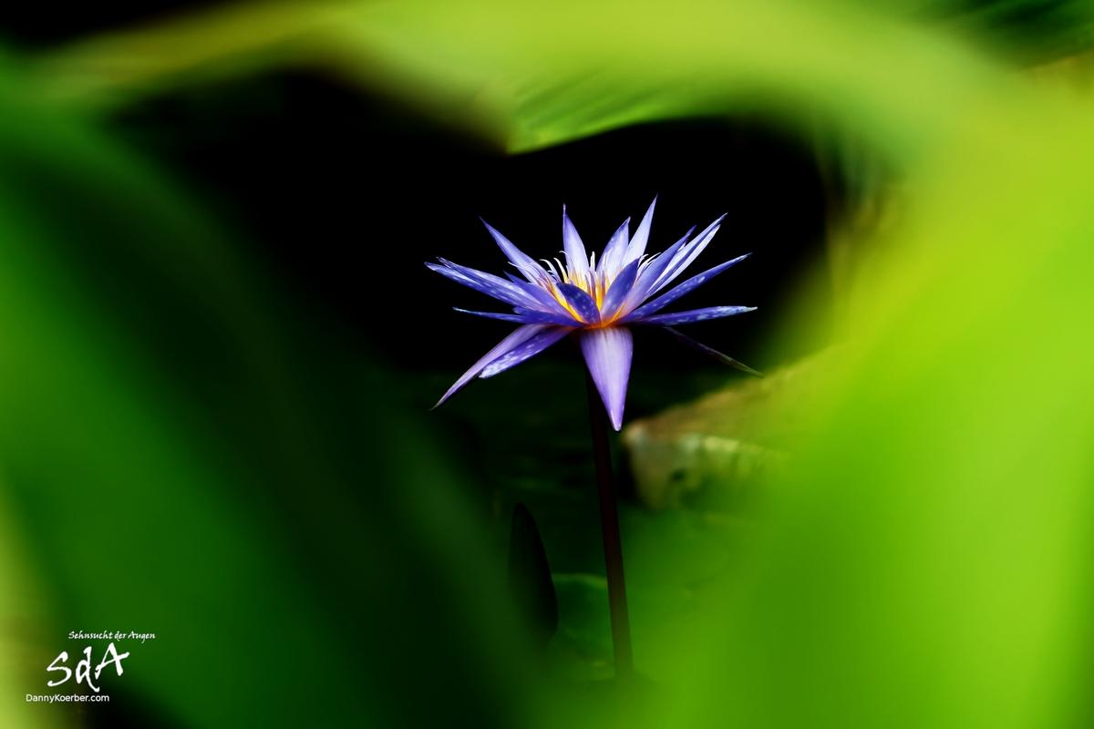 Im Reich der Farben, Eine lila Wasserlilie (Blume) fotografiert von Danny Koerber für Sehnhsucht der Augen.