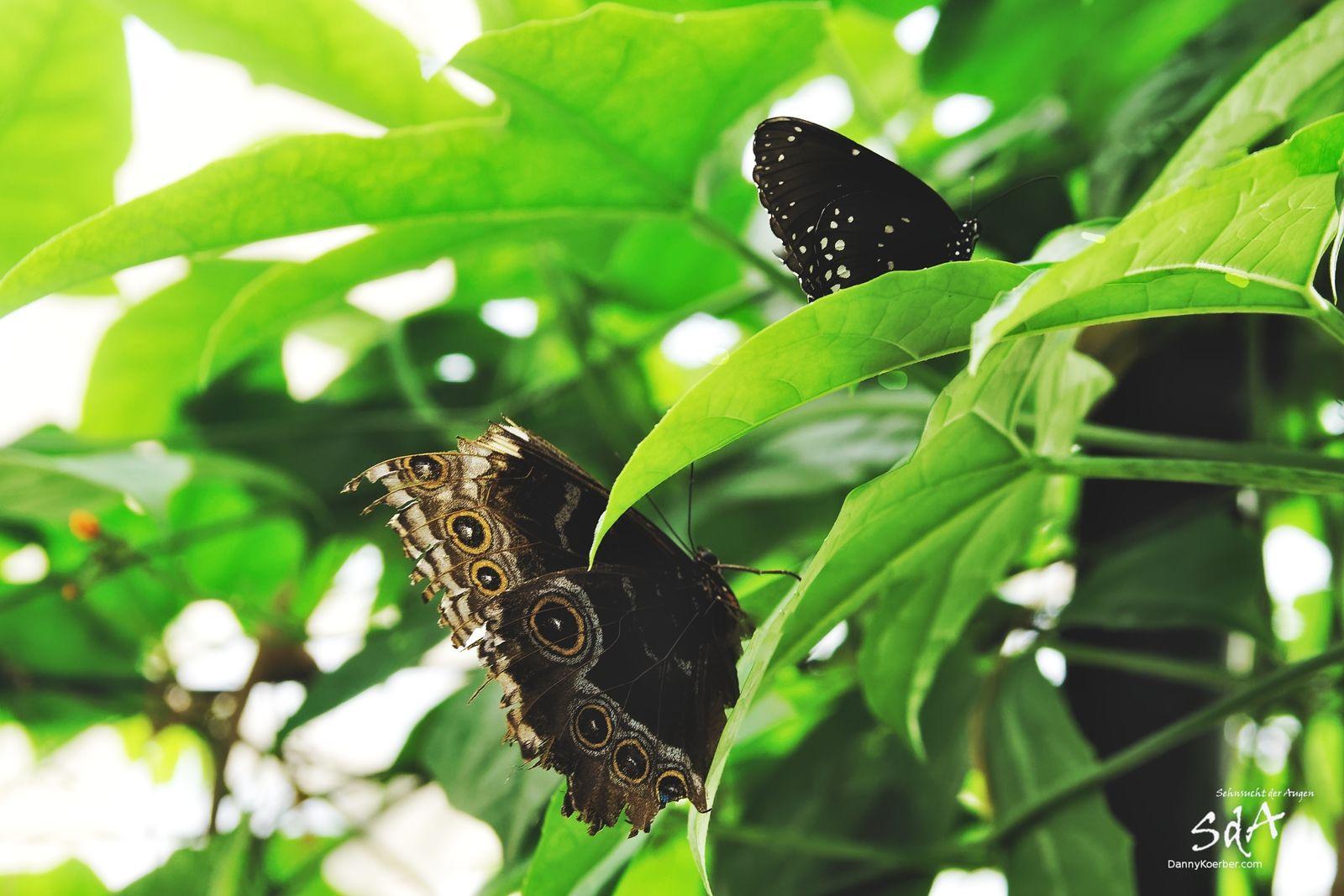 2 Falter, Schmetterlinge und Tiere fotografiert von Danny Koerber.