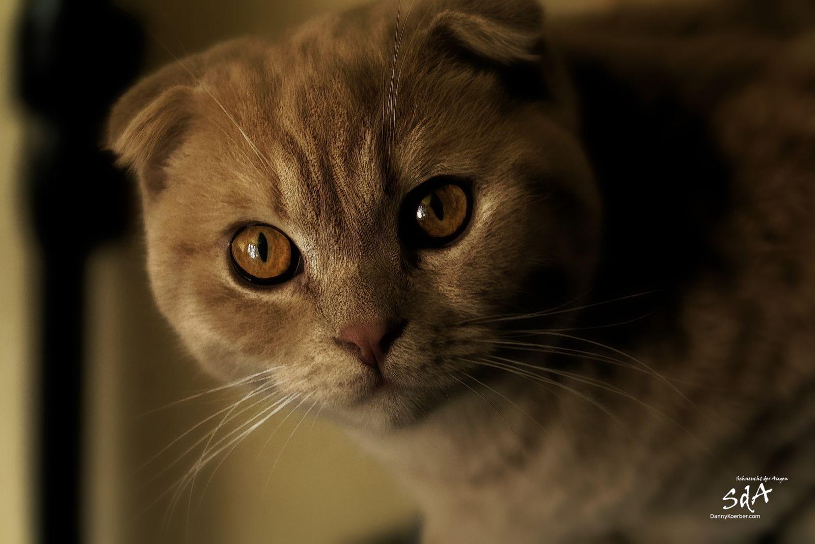 Der goldene Blick, Scotisch Fold fotografiert von Danny Koerber.