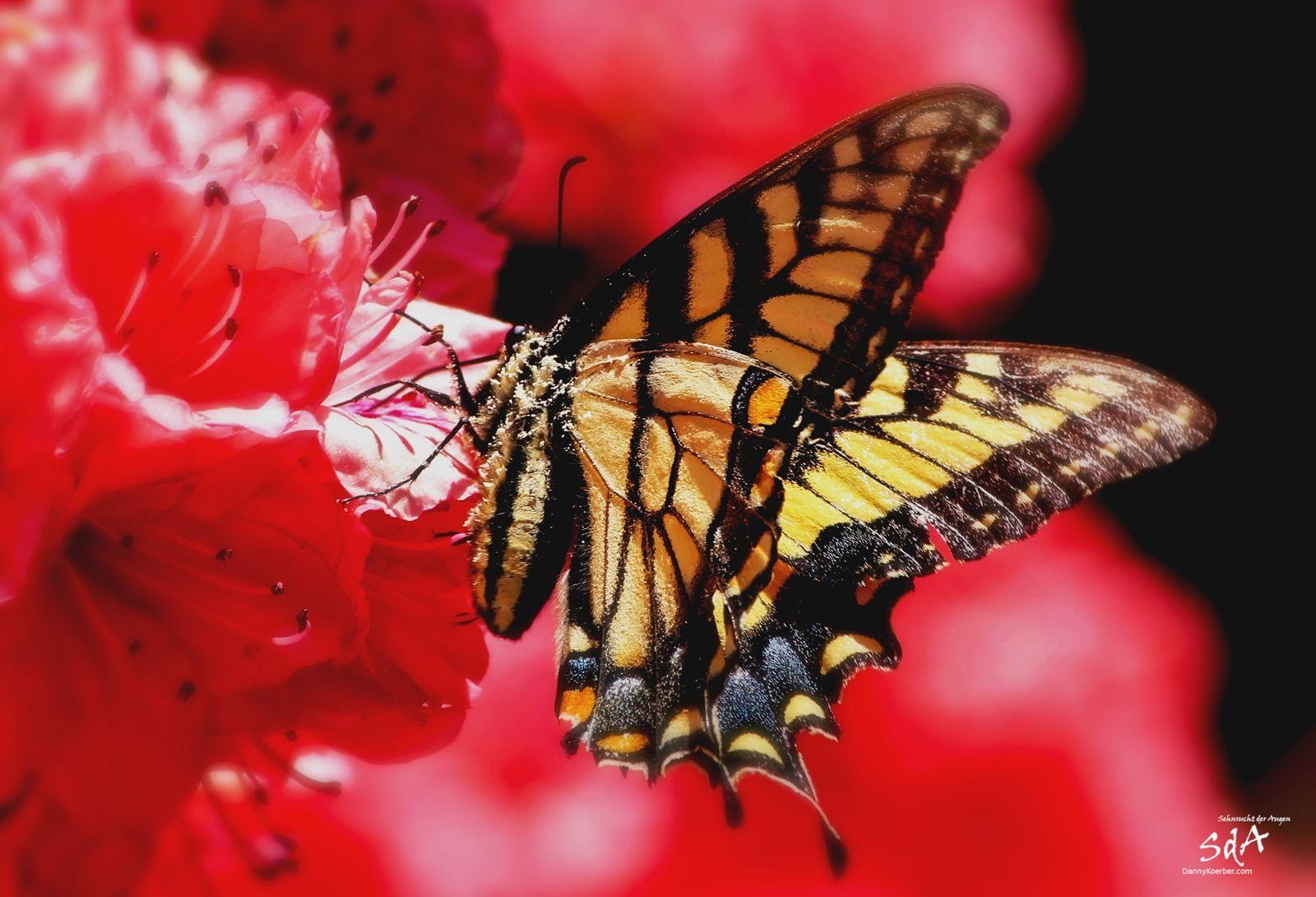 Falter auf Rot, Schmetterlinge und Tiere fotografiert von Danny Koerber.
