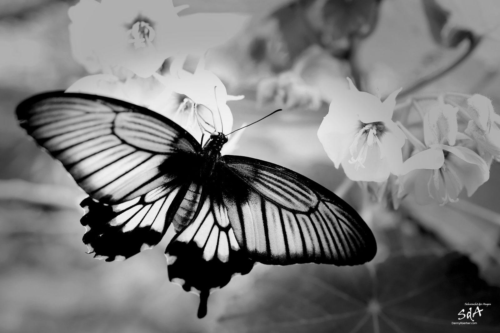 Falter mit weißen Blüten, Schmetterlinge und Tiere fotografiert von Danny Koerber.