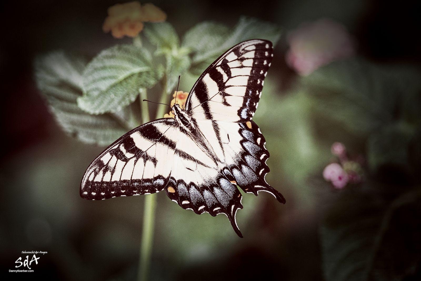 Falter zeigt sich in voller Pracht, Schmetterlinge fotografiert von Danny Koerber.