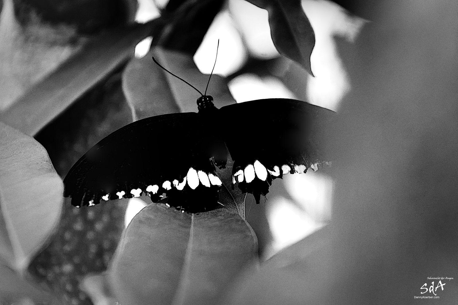 Schwarz weiß Falter auf Baum, Schmetterlinge und Tiere fotografiert von Danny Koerber.