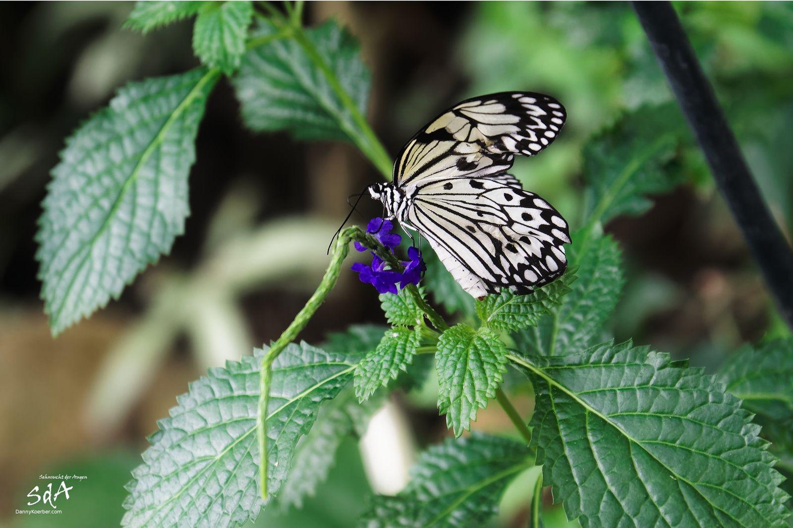 Zebrafalter, Schmetterlinge und Tiere fotografiert von Danny Koerber.