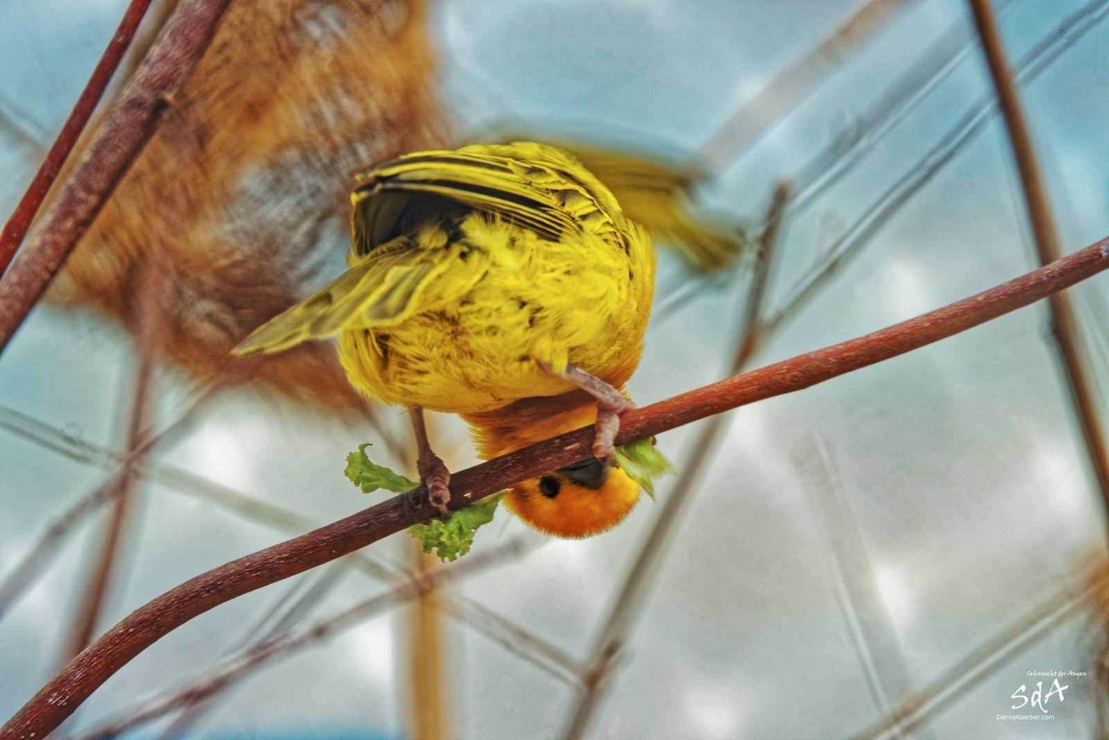 Egal ob man Kopfüber ist, man sollte und kann trotzdem alles im Blick haben. Unser Freund der Kanarienvogel macht es uns vor, ohne Probleme.