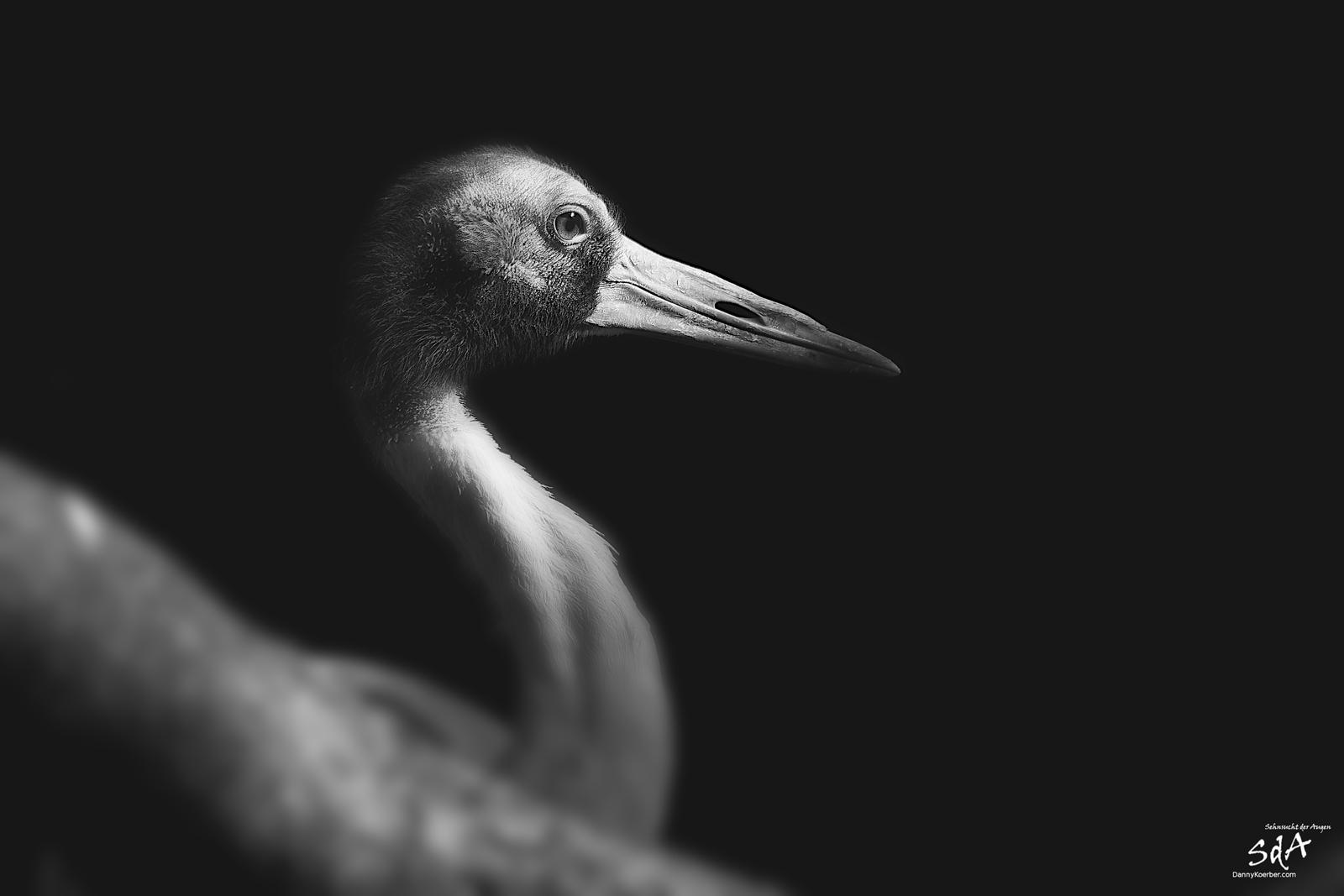 Ein Kranich im Schatten der Sonne. Vögel, fotografiert in schwarz Weiß von Danny Koerber für Sehnsucht der Augen.