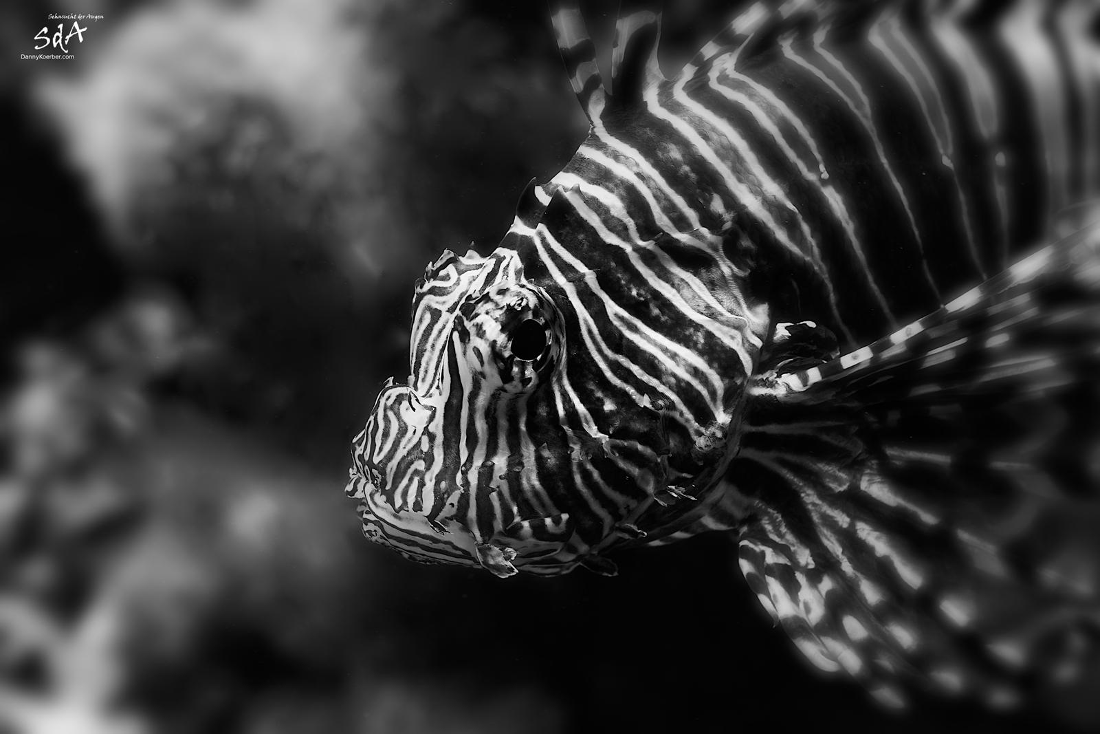 Der Löwenfisch beobachtet uns. Wassertiere von Danny Koerber für Sehnsucht der Augen fotografiert.