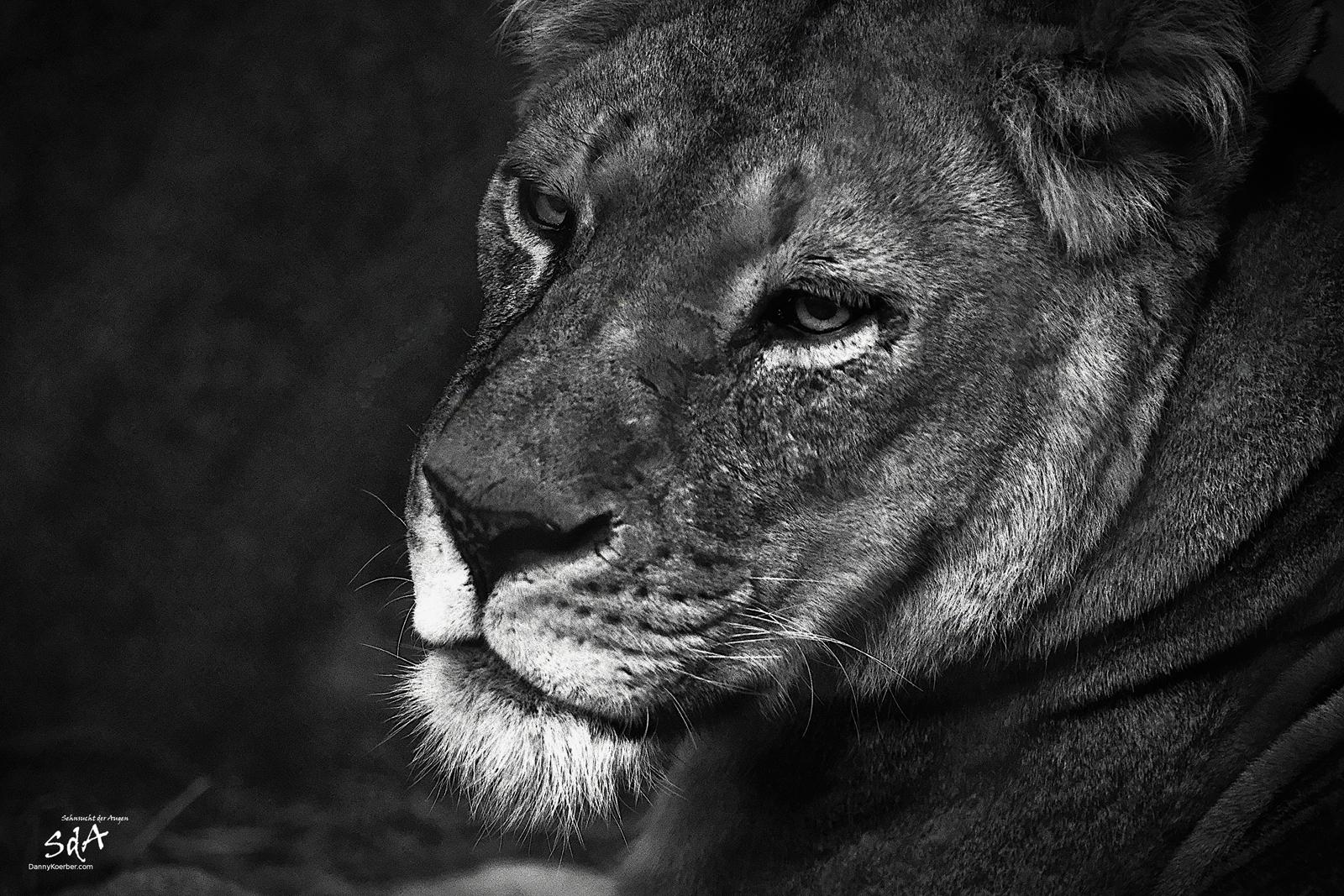 Der Blick der Katze. Ein Löwe schaut zur Seite. Fotografiert von Danny Koerber für Sehnsucht der Augen. Wildtiere