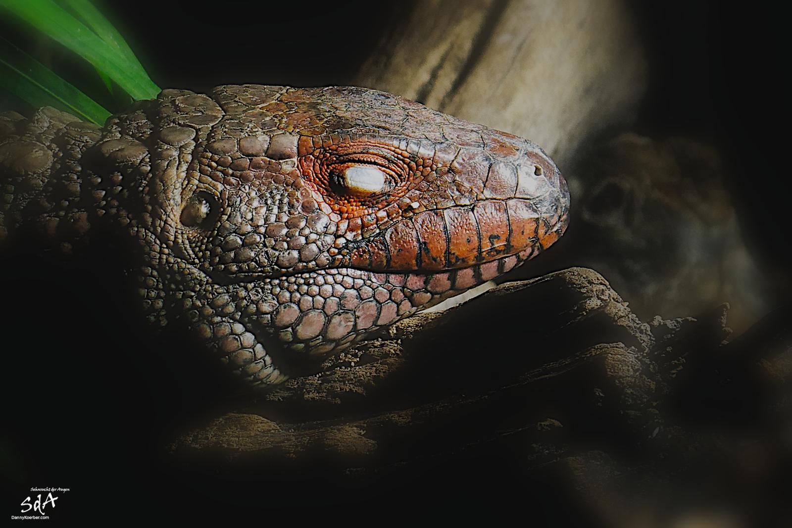 Schlafende Tejus Schienenechse. Reptilien von Danny Koerber fotografiert für Sehnsucht der Augen.