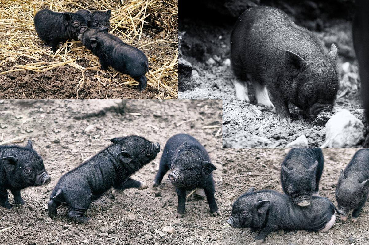 Baby-Haengebauchschweine-in-Schwarze-Berge von Danny Koerber.