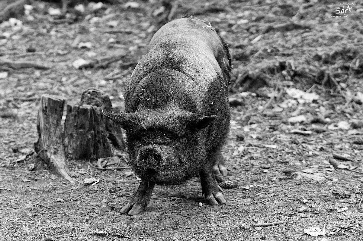 Haengebauchschwein-in-Schwarze-Berge von Danny Koerber.