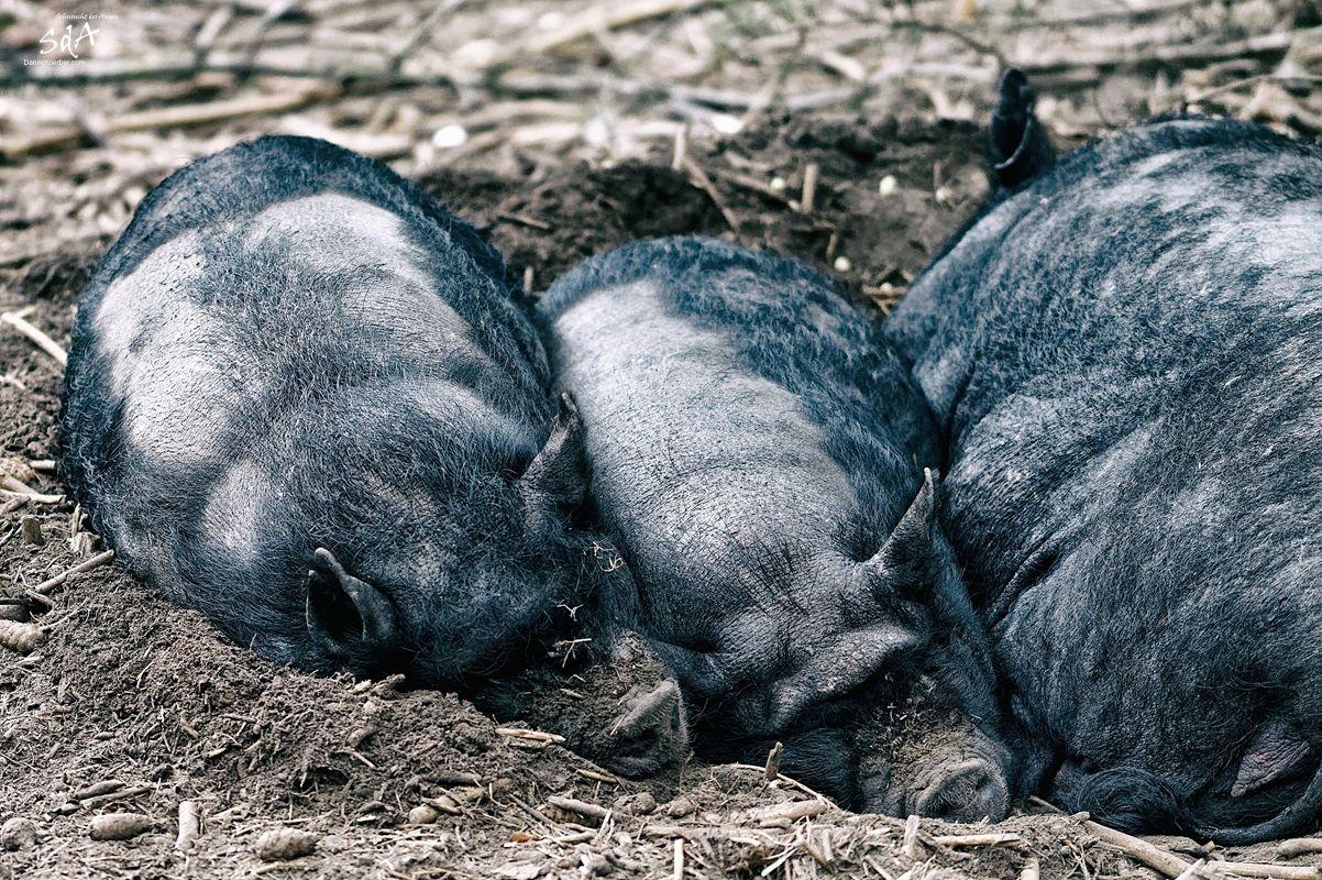 Haengebauchschweine-in-Schwarze-Berge-beim-schlafen von Danny Koerber.