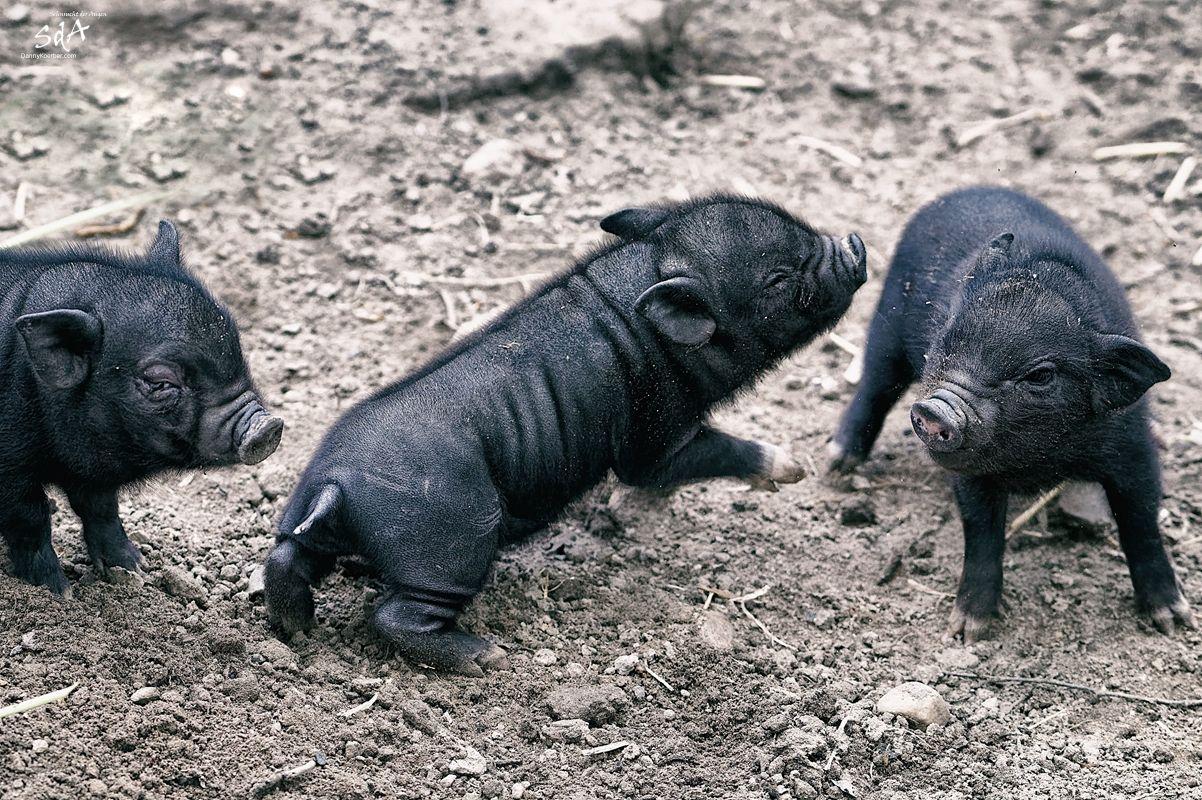 Kleine-Haengebauchschweine-in-Schwarze-Berge-1 von Danny Koerber.