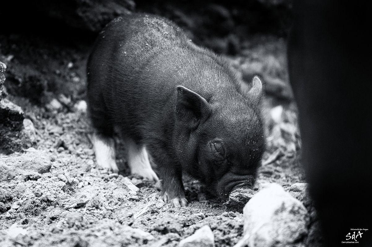 Kleine-Haengebauchschweine-in-Schwarze-Berge-4 von Danny Koerber.