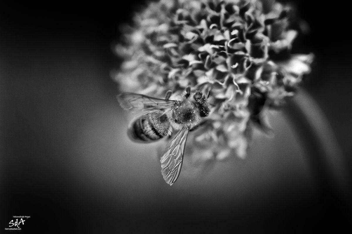 Biene auf Bluete, fotografiert von Danny Koerber für Sehnsucht der Augen.