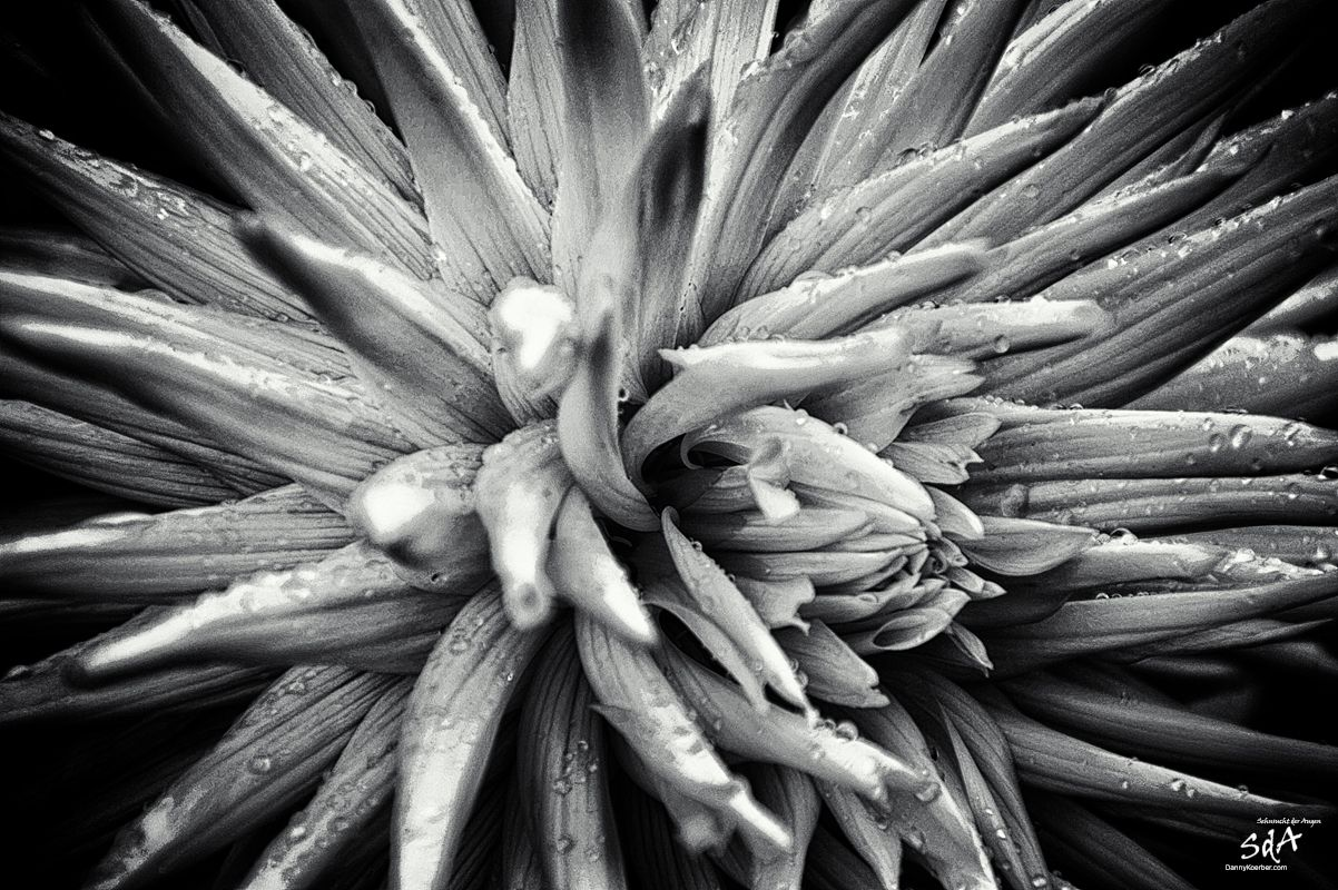 Gelbe-Sternenblume-im-botanischen-Garten, Blumen fotografiert in schwarz weiß von Danny Koerber für Sehnsucht der Augen.