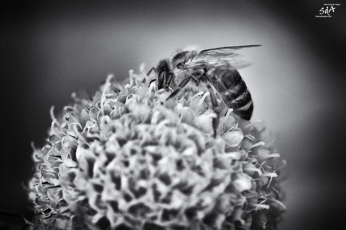 Biene auf Bluete 2, fotografiert von Danny Koerber für Sehnsucht der Augen.