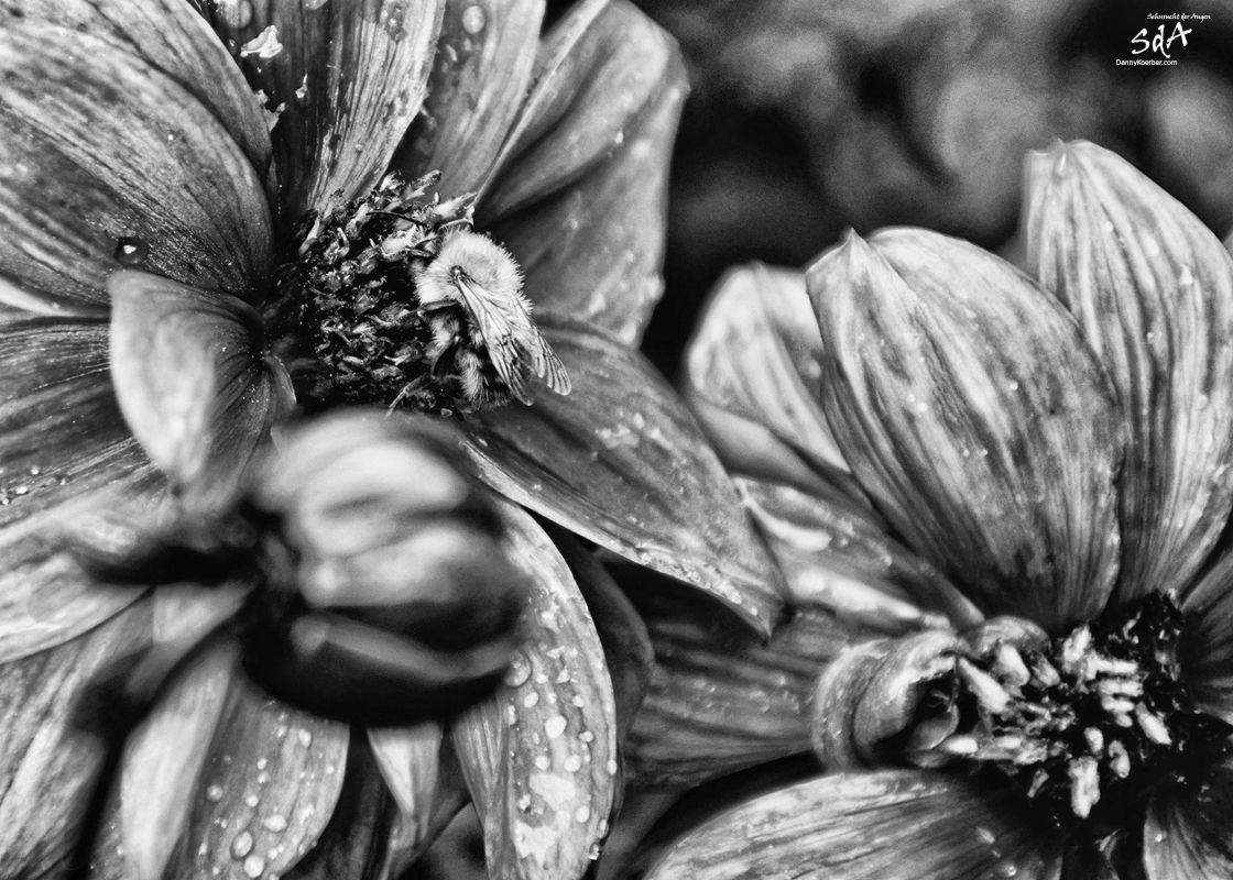 Eine Biene auf einer Blume, fotografiert von Danny Koerber für Sehnsucht der Augen.