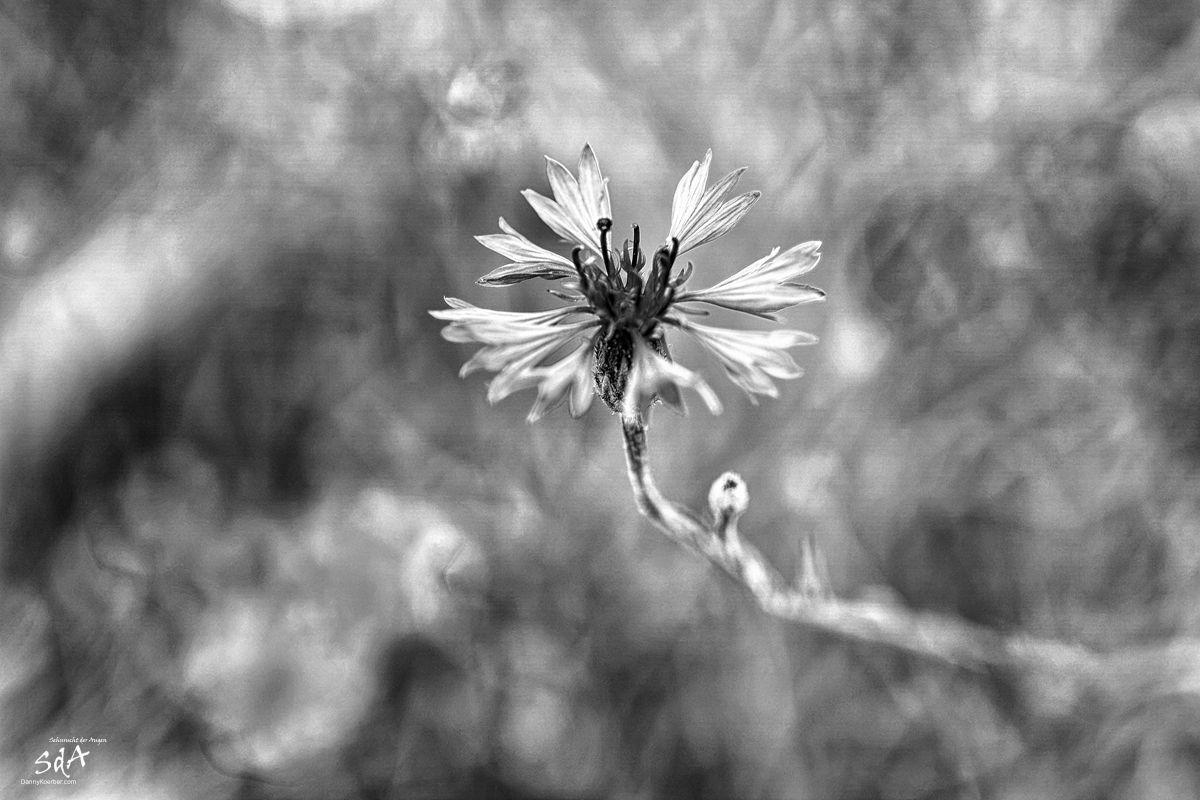 kornblume-auf-einem-getreidefeld, Blumen fotografiert in schwarz weiß von Danny Koerber für Sehnsucht der Augen.