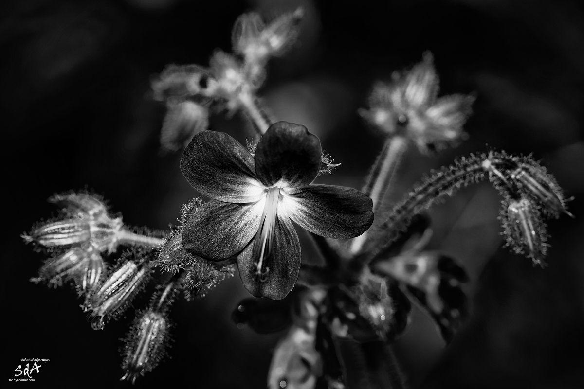 schwarze-blume, Blumen fotografiert in schwarz weiß von Danny Koerber für Sehnsucht der Augen.