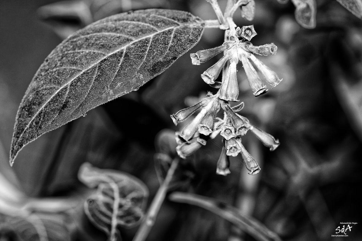 trompetenblume-in-schwarz-weiß, Blumen fotografiert in schwarz weiß von Danny Koerber für Sehnsucht der Augen.