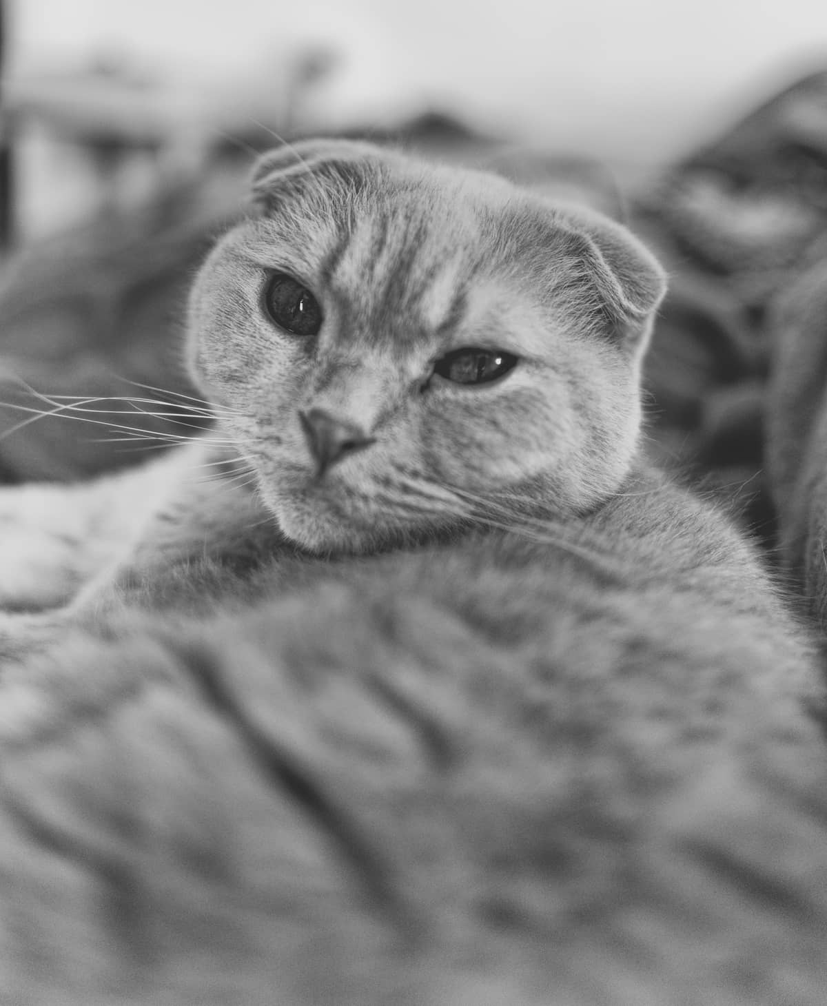 Tarzan eine scotish fold Katze, fotografiert von Danny Koerber