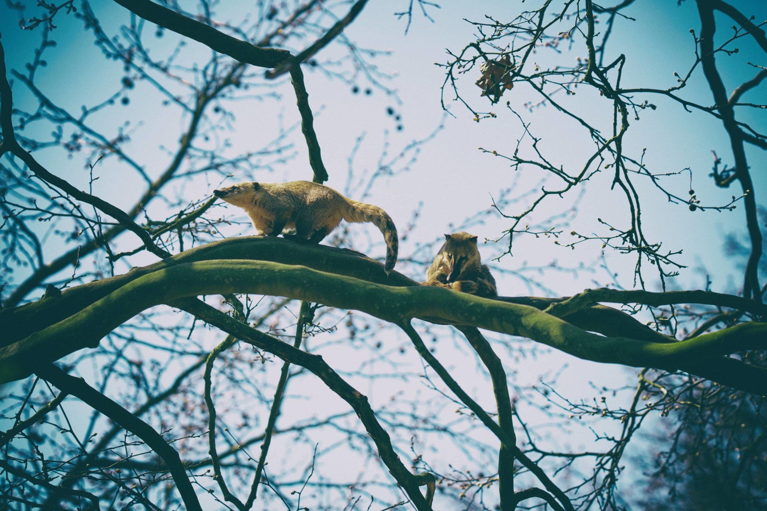 Nasenbär beim Fluchtversuch, fotografiert von Danny Koerber.