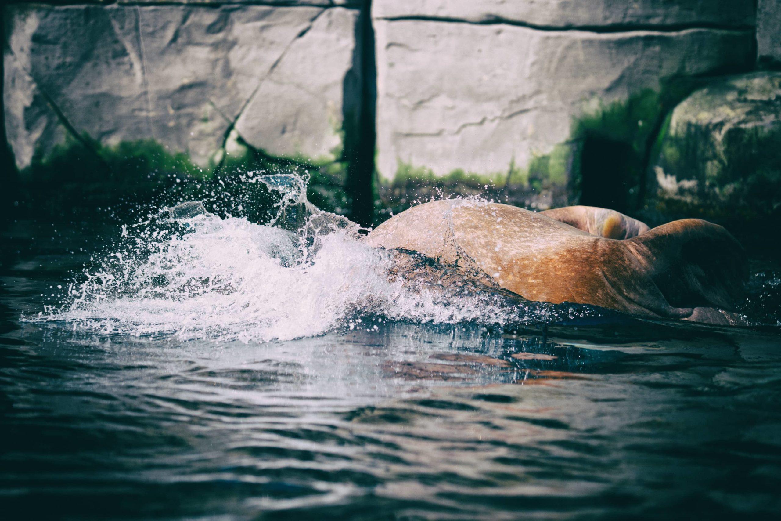 Walross beim abtauchen, fotografiert von Danny Koerber.